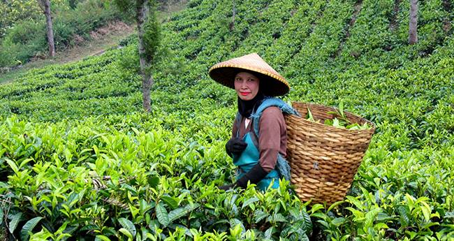 Tea From Arunachal Pradesh Was Recently Sold For World Record Price Of Rs 40,000/Kg