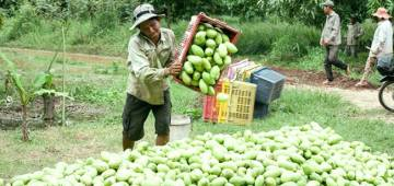 Largest Mango Production : If you are a Mango lover visit these countries