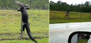 Neitizens startled after watching the video of alligator climbing fence
