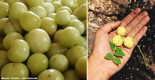 Health benefits of including Indian Gooseberry or amla in your diet