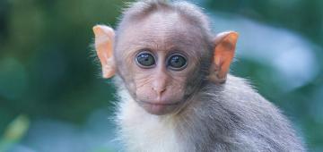 Monkeys Run Away With Test Samples In Meerut, Residents Worried