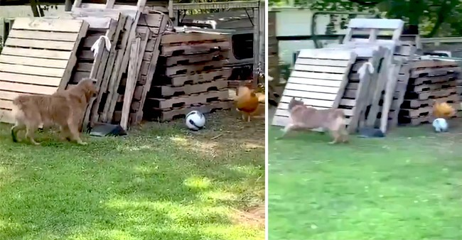 Video Of A Dog & A Chicken Running Around & Playing Has Gone Viral On Twitter; Enjoy
