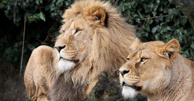Eight Asiatic lions at Hyderabad zoo test positive for COVID-19
